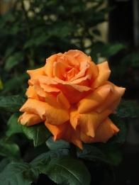 Rosa Indian Summer