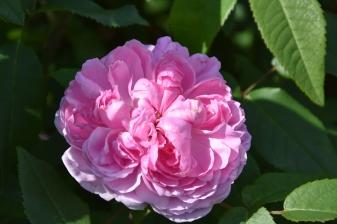 Rosa Jacques Cartier 2