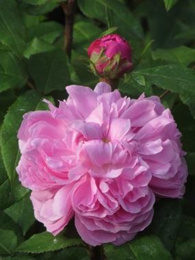 Rosa Jacques Cartier (3)
