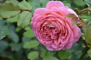 Rosa Jubilee Celebration
