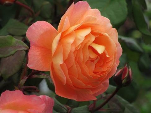 Rosa Lady Emma Hamilton 8