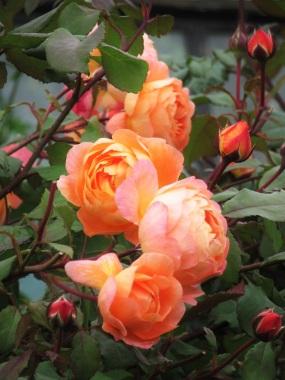 Rosa Lady Emma Hamilton group