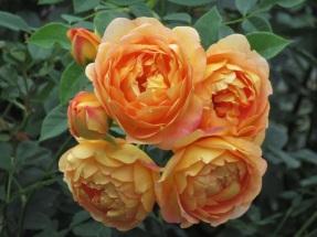 Rosa Lady of Shalott group
