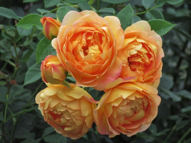 Rosa Lady of Shalott group