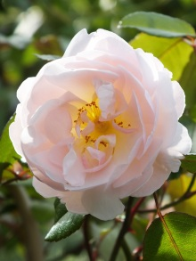 Rosa Lady of the Lake