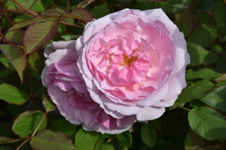Rosa Lady Salisbury
