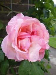 Rosa Lady Waterlow 1