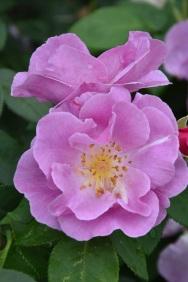 Rosa Lucky!