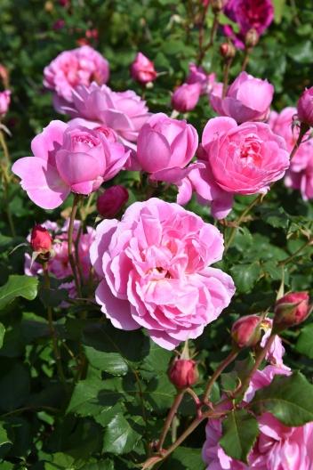 Rosa Maid Marion 1