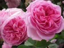 Rosa Maid Marion (2)