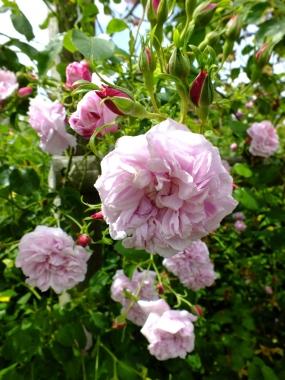 Rosa May Queen Rambler