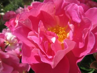 Rosa Miss Alice 1