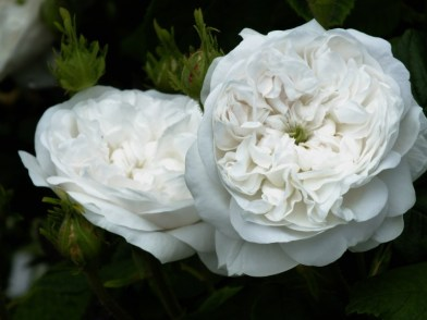Rosa Mme Hardy 1