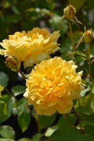Rosa Molineux 1