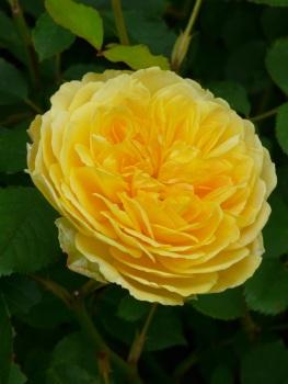 Rosa Molineux perfect