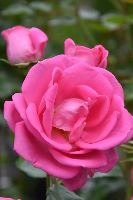 Rosa Morning Jewel