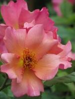 Rosa Morning Mist