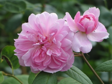 Rosa Mortimer Sackler1