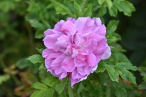 Rosa Mrs Doreen Pike 1