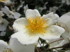 Rosa mulliganii 1
