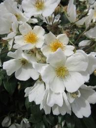 Rosa mulliganii 2