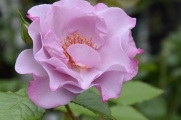 Rosa Oddyssey 1