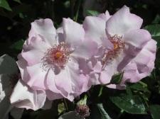 Rosa Odyssey1