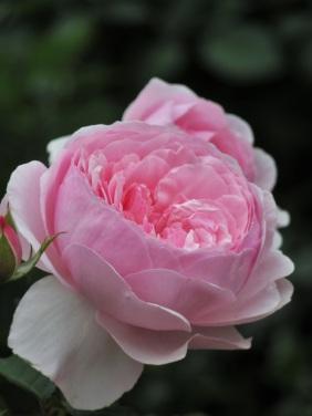 Rosa Olivia Rose Austin
