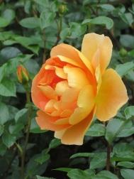 Rosa Pat Austin 1