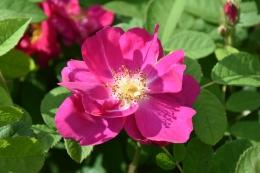 Rosa Portland Rose 1