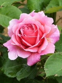 Rosa Princess Alexandra of Kent (2)
