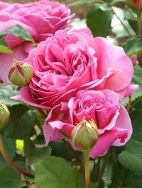 Rosa Princess Alexandra of Kent 4