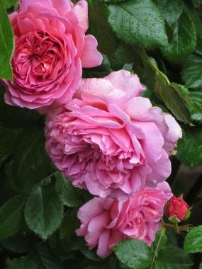 Rosa Princess Alexandra of Kent