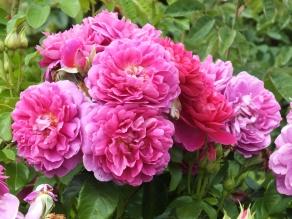 Rosa Princess Anne 3