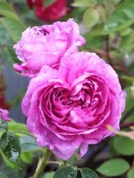 Rosa Reine de Violettes (2)