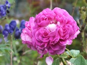 Rosa Reine des Violettes 2