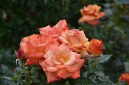 Rosa Remember Me (2)