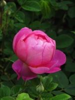 Rosa Royal Jubilee (3)