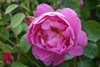 Rosa Royal Jubilee 4