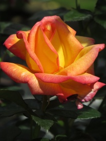 Rosa Sheilas Perfume
