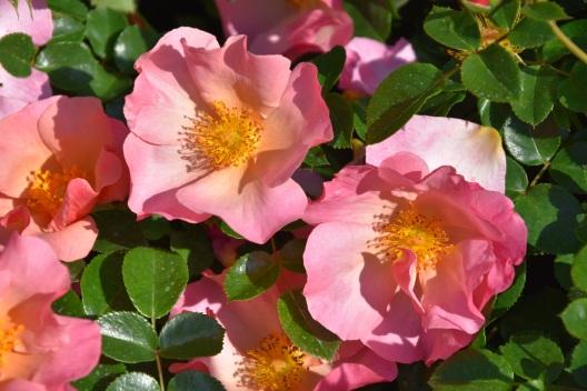 Rosa Simple Peach
