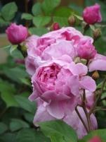 Rosa Sister Elizabeth (2)
