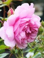 Rosa Sister Elizabeth
