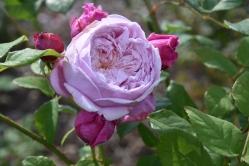 Rosa Spirit of Freedom