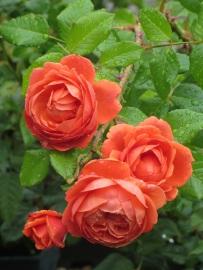 Rosa Summer Song 1
