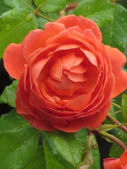 Rosa Summer Song 2