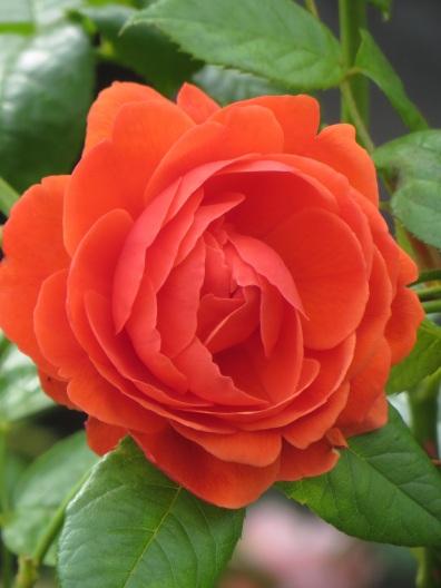 Rosa Summer Song (2)