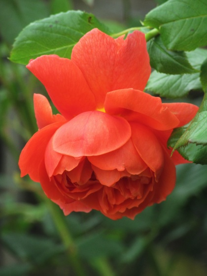 Rosa Summer Song 6