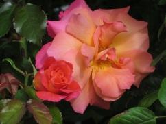 Rosa Sunrise