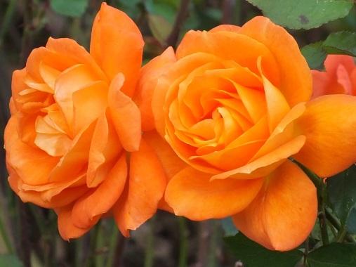 Rosa Super trouper 1